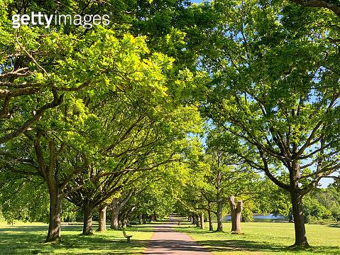 Avenue of oak trees on Southampton Common.