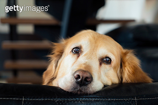 Portrait of Golden Retriever dog is looking at the camera on sofa