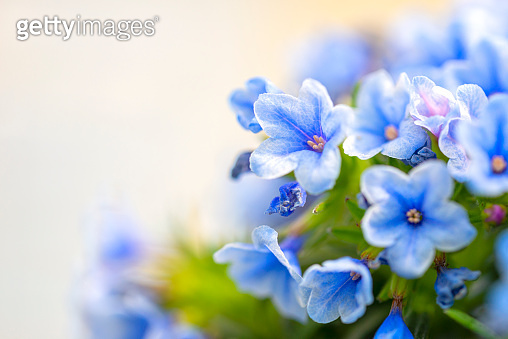 Lithodora zahnii Blue flowers