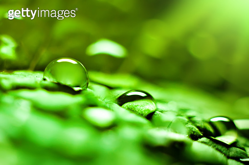 Large beautiful drops of transparent rain water on a green leaf. Macro. Natural background. Selective focus.
