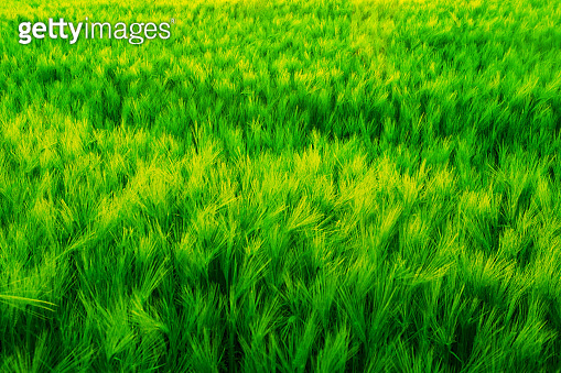 Field of green wet grass and colorful sunset.