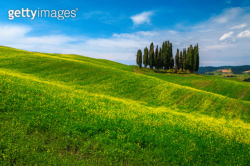 Tuscany landscape with group of cypress trees and rapeseed field