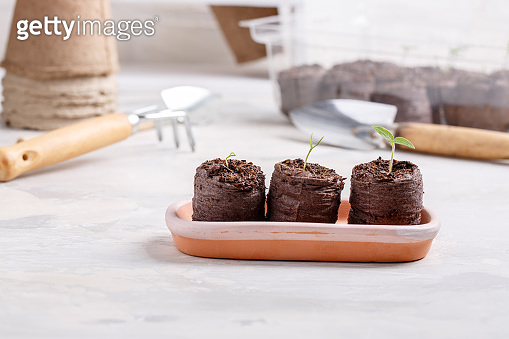 Young seedling sprouts in the peat tablets. Gardening concept.