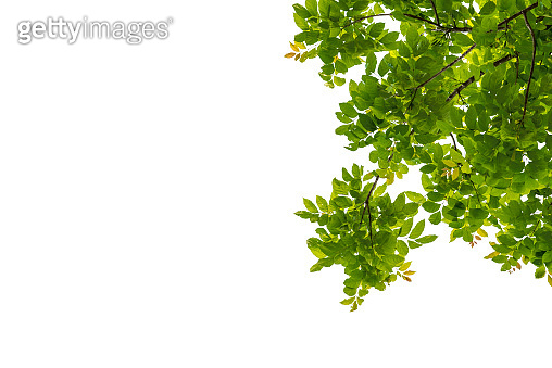 Tree branch with green leaf isolated