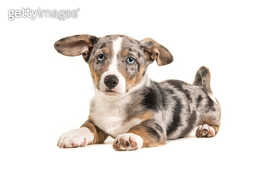 Cute blue merle welsh corgi puppy with blue eyes and hanging ears lying down facing the camera seen from the side isolated on a white background