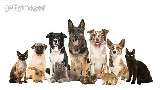 Large group of various domestic pets, dogs, cats, rabits and a guinea pig