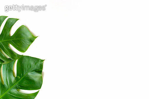 Isolate Dark green Monstera large leaves, philodendron tropical foliage plant growing in wild on white paper kraft background concept for flat lay summer paint greenery leaf texture rainforest floral