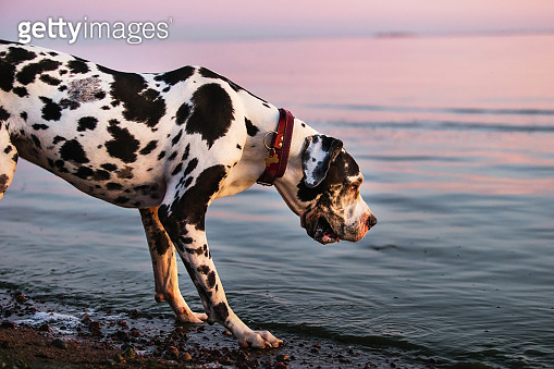 Curious purebred dog looking at water on beach