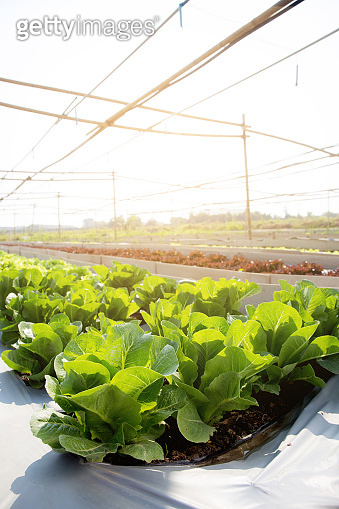 Fresh sapling of green oak or red oak romaine lettuce organic farm in plantation, produce and cultivation agriculture and harvest green leaves in the field, vegetable and healthy food concept.