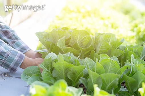 closeup hands young man farmer checking and holding fresh organic vegetable in hydroponic farm, produce and cultivation green cos for harvest agriculture with business, healthy food concept.