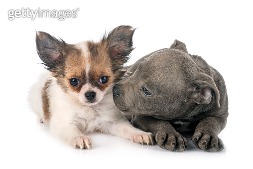 puppy staffordshire bull terrier and chihuahua