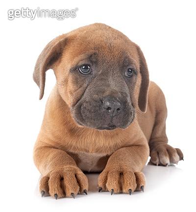 puppy italian mastiff