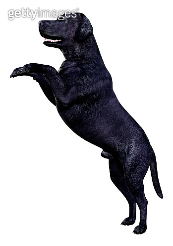 3D illustration black labrador dog on white
