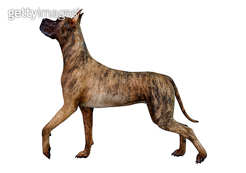 3D illustration Great Dane dog on white