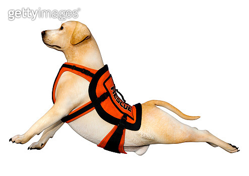 3D illustration fyellow labrador rescue dog on white