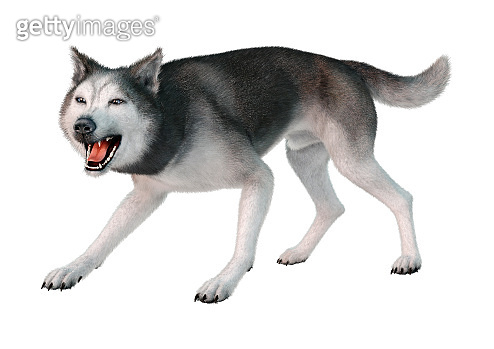 3D illustration siberian husky on white