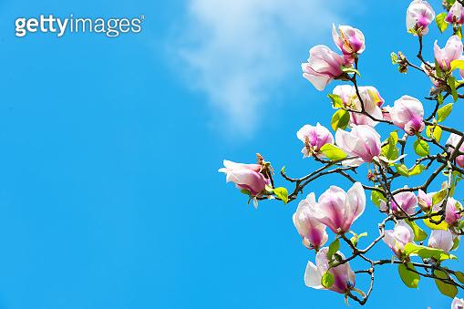 Magnolia tree in blossom on blue sky