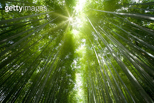 bamboo forest light with the sun  and show the nice green style