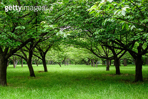 Minimalist monochrome landscape with large green cherry trees in an orchard in a a sunny summer day