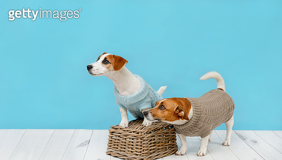 studio photo of Jack Russell puppy and his mom
