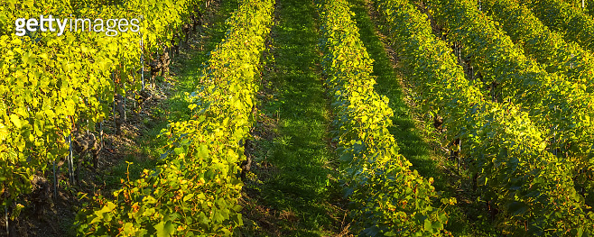 Rows of beautiful green vines