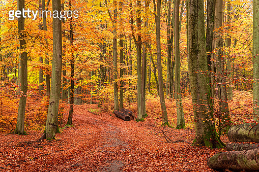 Golden trees in autumn forest in Poland, Europe