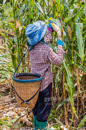 Farmers harvesting corn in the midday