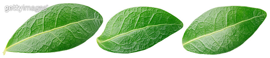 Blueberry green leaf isolated on white