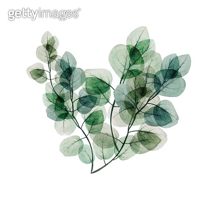 Watercolor floral eucalyptus leaf branch heart. Hand drawn spring and summer decorative illustration.