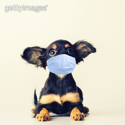 Funny young puppy of Russian toy terrier on a white background.