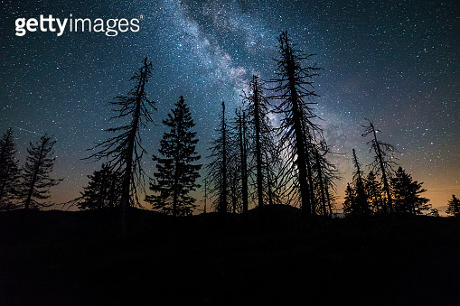 Milky Way above dried coniferous trees, beautiful starry sky, fairytale night under the stars