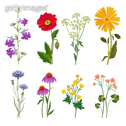 Wild flowers. Plants botanical collection vector floral set meadow anise