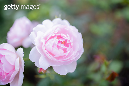 Beautiful Pink Rose Surrounded by Green Leaves and a Blurry Background