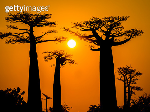 Amazing sunset above Baobab Avenue with tree silhouettes in foreground, Morondava, Madagascar