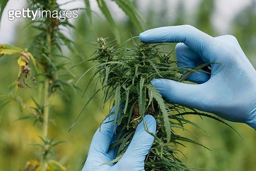 Farmer in gloves inspecting hemp plant