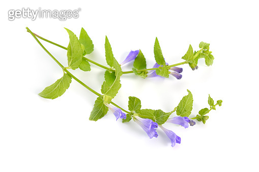Scutellaria galericulata, the common skullcap, marsh skullcap or hooded skullcap. Isolated