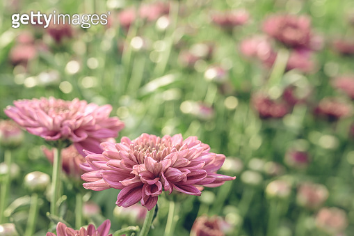 Vintage style of  Selective focus of beautiful pink or red flower with soft blurred bokeh background.