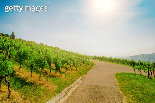 Landscape of vineyard on hill with crossroad in center and grape bushes on both side in sunny day.