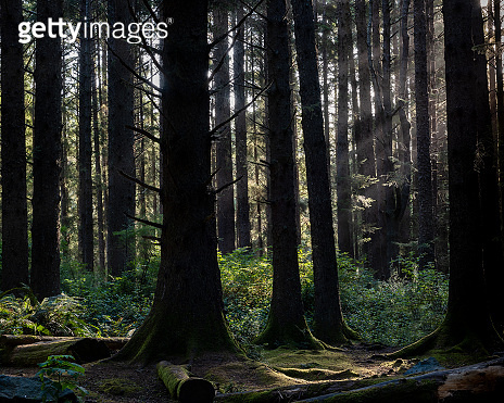 Sunrays in the coniferous tree forest