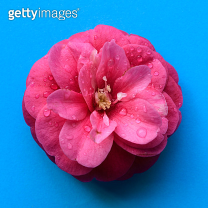 Pink camellia flower head isolated blue