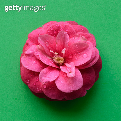 Pink camellia flower head isolated green