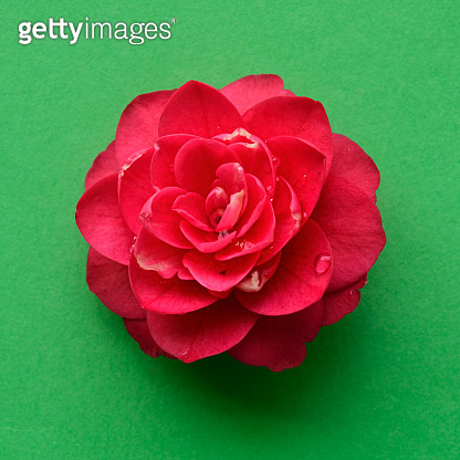 Red camellia flower head isolated green