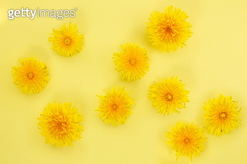 bright background of yellow dandelion flowers.