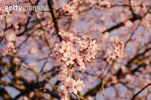 Beautiful spring blossoms. Plum tree branch with fresh pastel pink flowers in bloom, close up. Floral background. Springtime, sunny day.
