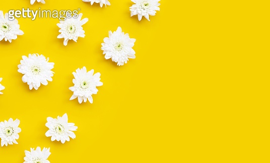 Chrysanthemum flower on yellow background.