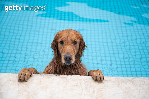 Golden retriever lying by the pool