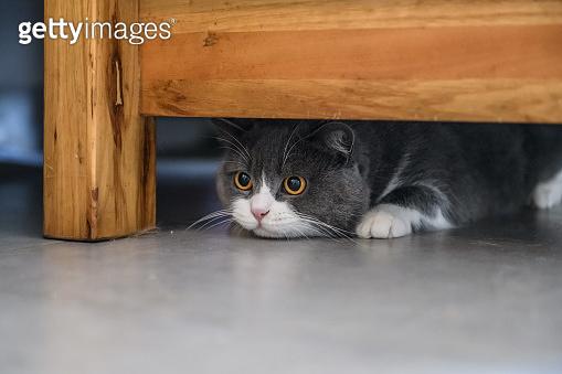 British shorthair cat hiding under the table