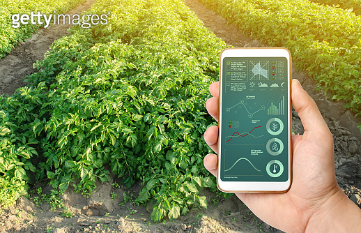 Farmer hold a smartphone on a background of a potato plantation. Smart agriculture concept. Agricultural startup. Automation and crop quality improvement. High technology, innovation. Data analysis