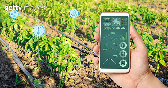 Farmer hold a smartphone on a background of a pepper plantation. Agricultural startup. Automation and crop quality improvement. High technology, innovation. Scientific research.