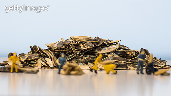 Miniature people : Workers work on the sunflower seed production process. (Sunflower seed business concept)